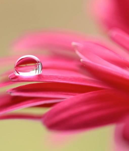 Фотообои Капля росы на розовом цветке (ID 1466)