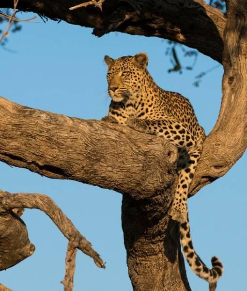 Фотообои Леопард (ID 1571)