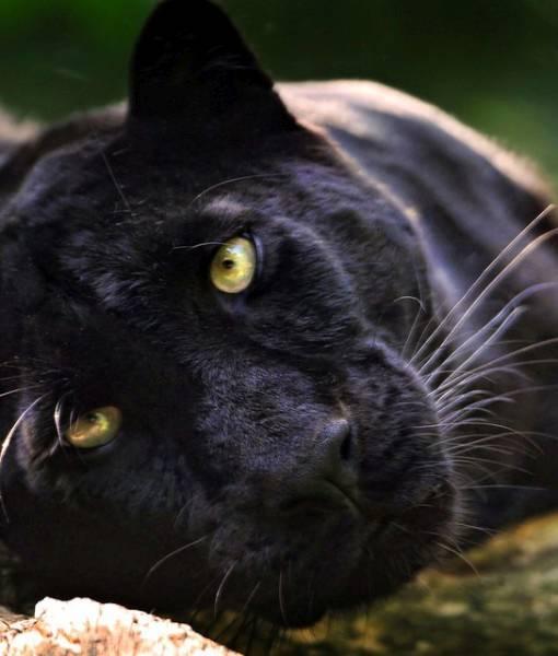 Фотообои Черная пантера (ID 1572)