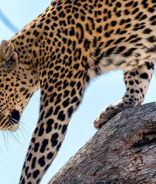 Фотообои Леопард (ID 1576)