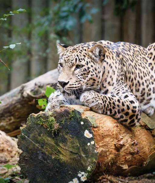 Фотообои Леопард (ID 647)