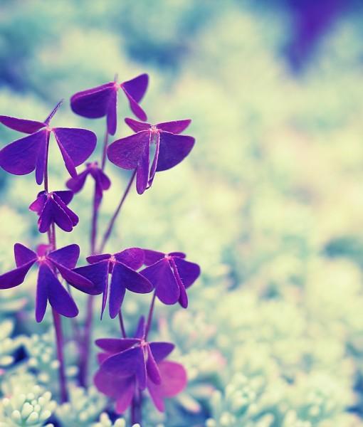 Фотообои Фиолетовый трилистник (ID 6783)