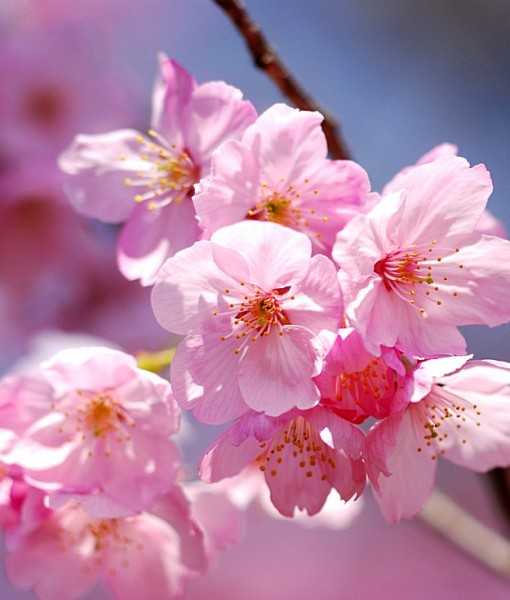 Фотообои Цветение вишни (ID 7092)