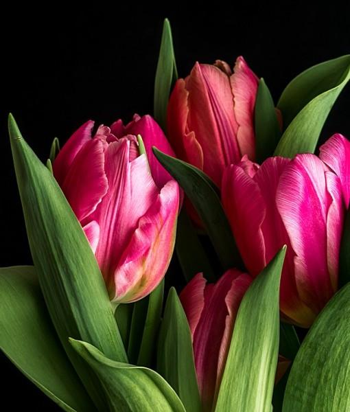 Фотообои Тюльпаны на черном фоне (ID 7111)
