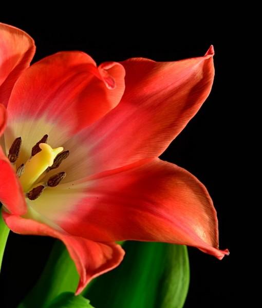 Фотообои Тюльпан на черном фоне (ID 7112)