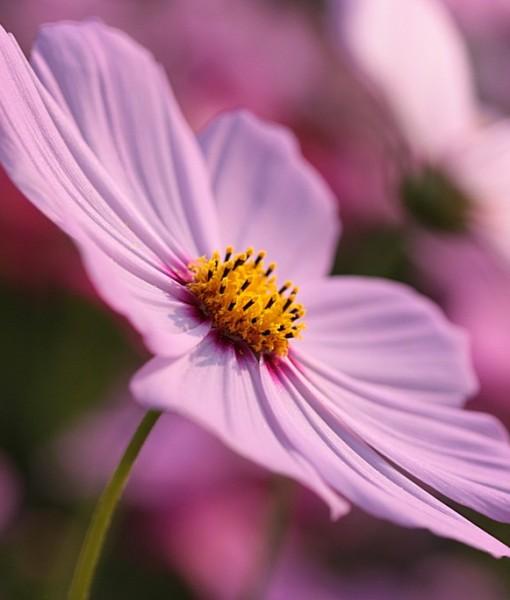 Фотообои Цветок космеи (ID 7116)