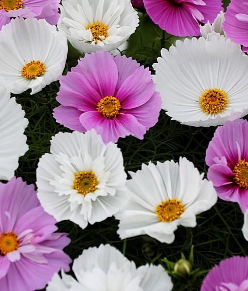 Фотообои Цветки космеи (ID 7118)