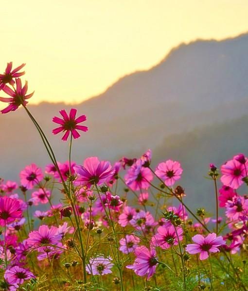 Фотообои Космея в поле на фоне гор (ID 7119)