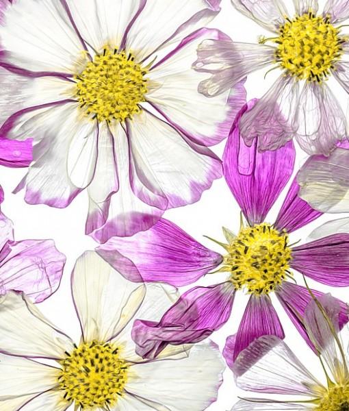 Фотообои Цветы космеи розовые (ID 7122)