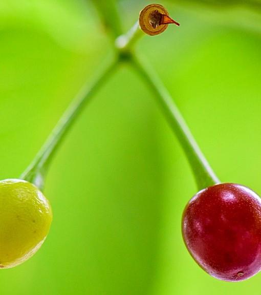 Фотообои Ветка вишни (ID 14505)