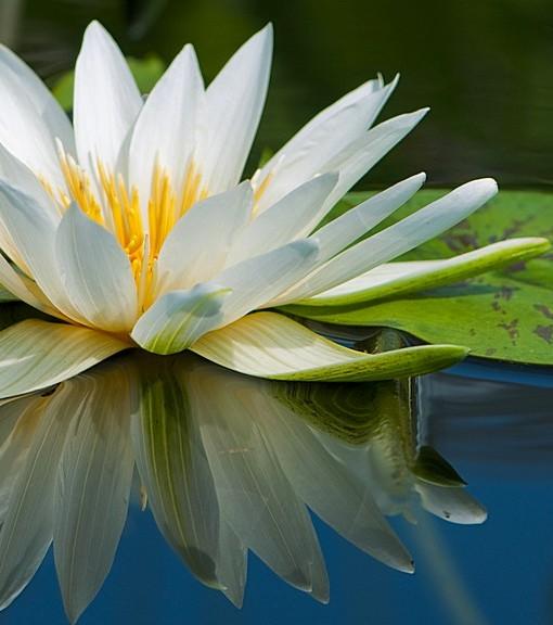 Фотообои Цветок куцшинки (ID 15110)