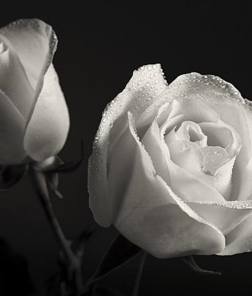 Фотообои Бутон белой розы (ID 15121)