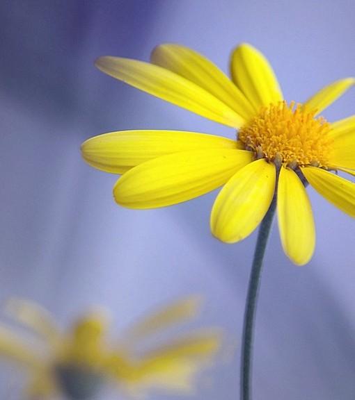 Фотообои Желтые лепестки (ID 15124)