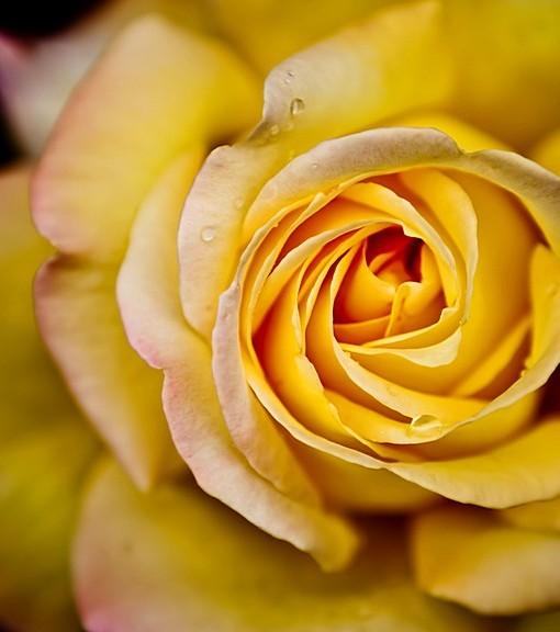 Фотообои Бутон чайной розы (ID 15126)