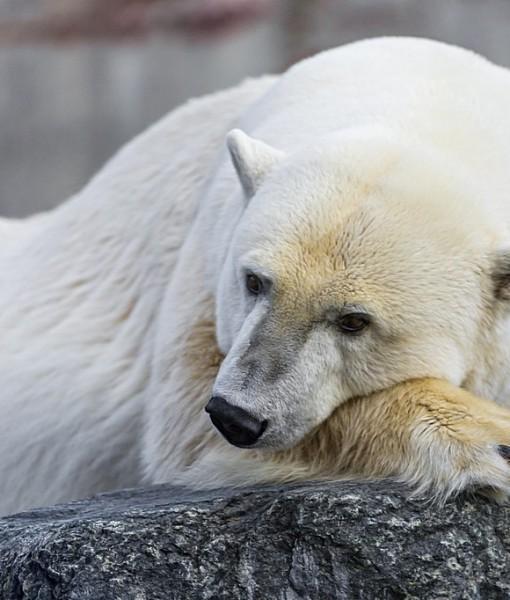 Фотообои Белый медведь на камне (ID 8243)