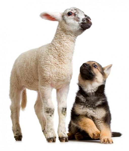 Фотообои Ягненок и щенок (ID 9209)