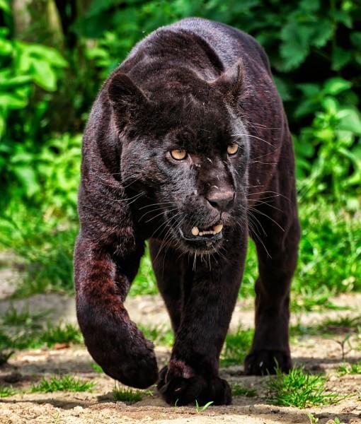 Фотообои Идущая пантера (ID 9215)