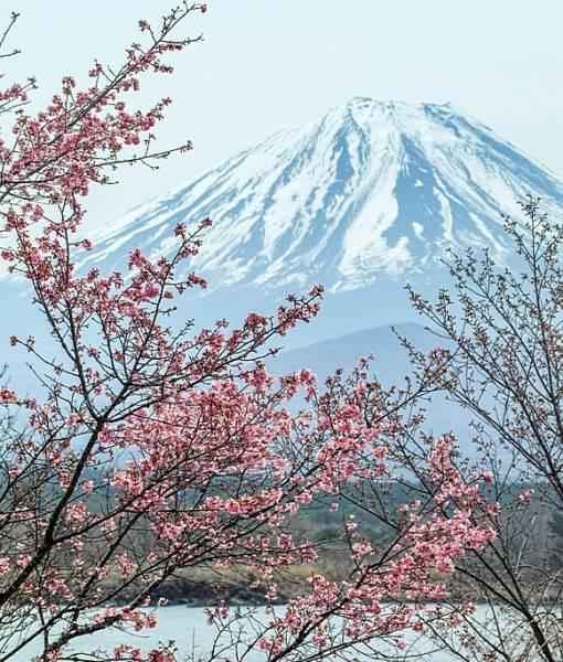 Фотообои Цветение вишни (ID 15439)