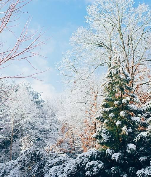 Фотообои Елки в снегу (ID 15522)