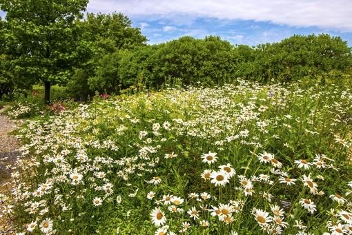 Фотообои Ромашковая поляна (ID 3787)