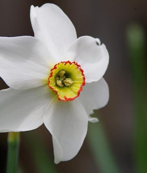 Фотообои Цветок нарцисса (ID 6241)