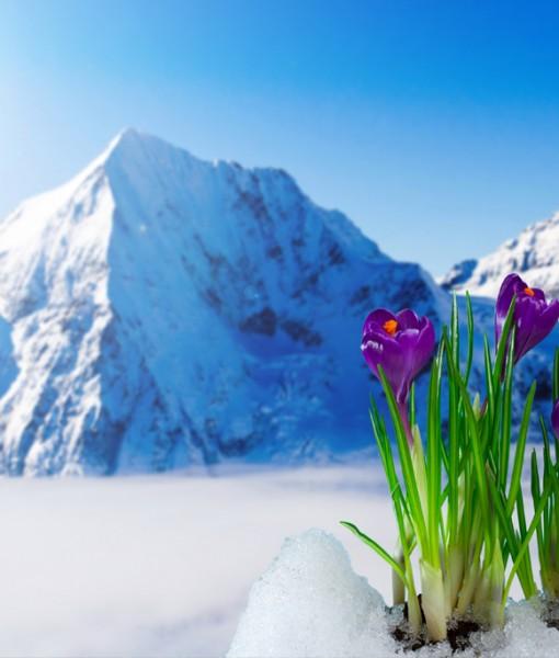 Фотообои Крокусы на фоне гор (ID 6326)