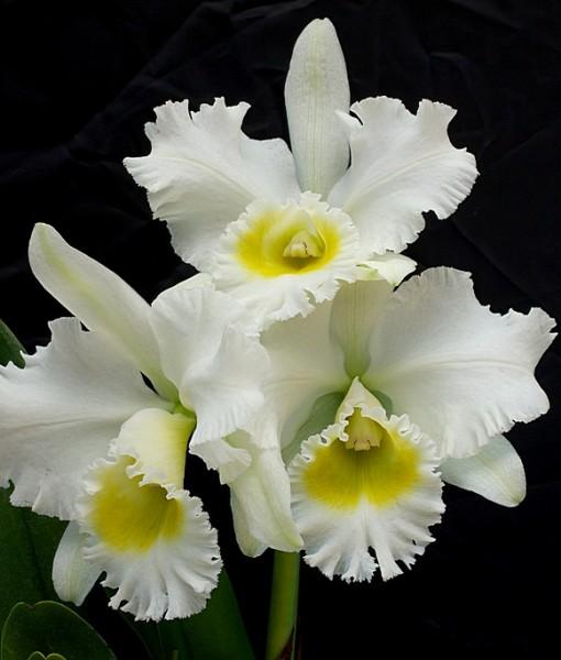 Фотообои Цветок белой орхидеи (ID 6444)