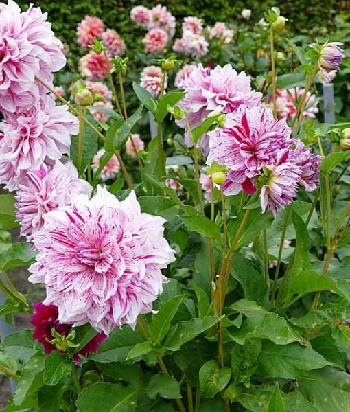 Фотообои Кусты розовых пионов (ID 6473)