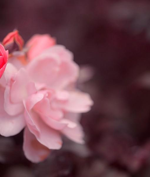Фотообои Роза на темном фоне (ID 6752)