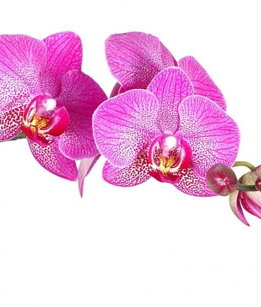 Фотообои Орхидея на белом фоне (ID 6761)
