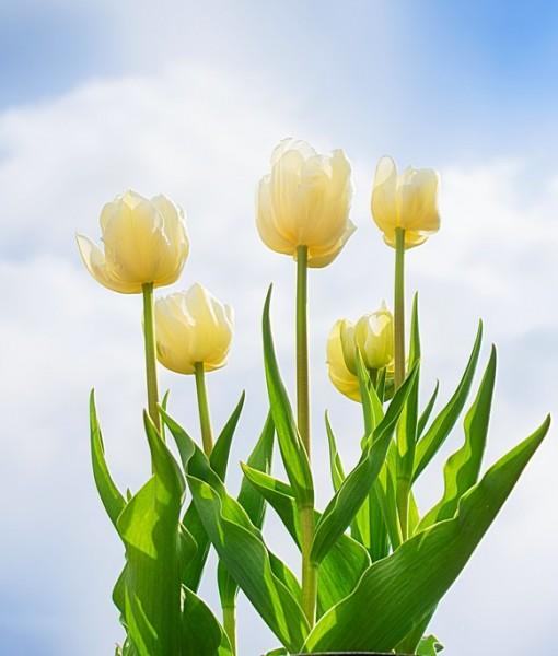 Фотообои Желтые тюльпаны на фоне неба (ID 6892)