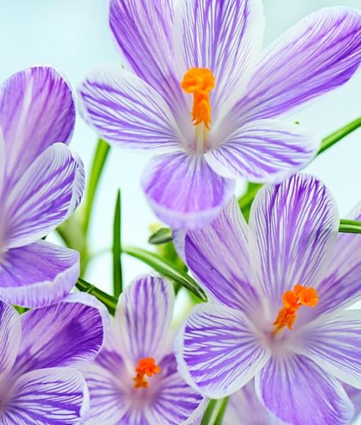 Фотообои Фиолетовые цветы на голубом фоне (ID 6903)