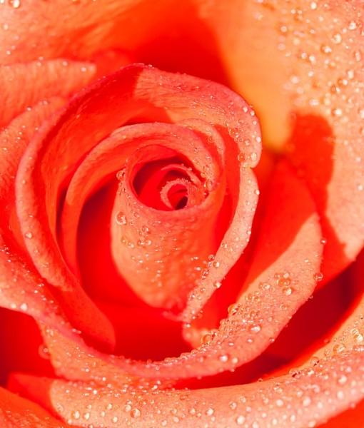 Фотообои Бутон розы в каплях росы (ID 15025)