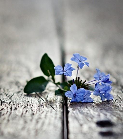 Фотообои Голубые цветы на деревянной поверхности (ID 15080)