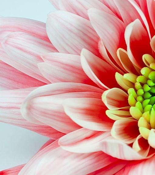 Фотообои Розовые лепестки (ID 15116)