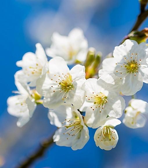 Фотообои Цветение вишни (ID 15117)