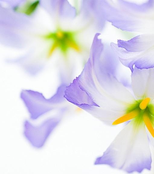 Фотообои Фиолетовые лепестки на светлом фоне (ID 15119)