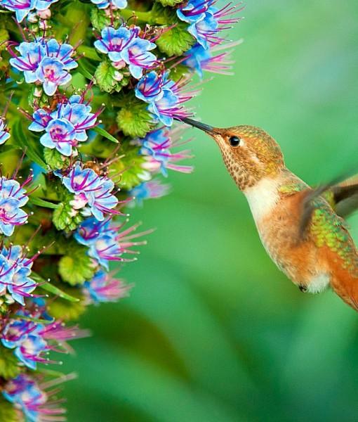 Фотообои Колибри у голубого цветка (ID 15122)