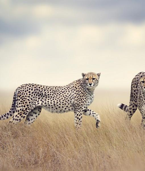 Фотообои Леопарды в траве (ID 8257)