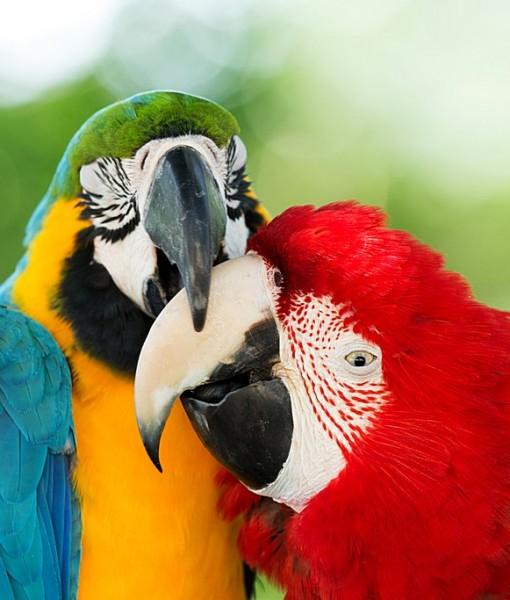 Фотообои Два ярких попугая (ID 8346)