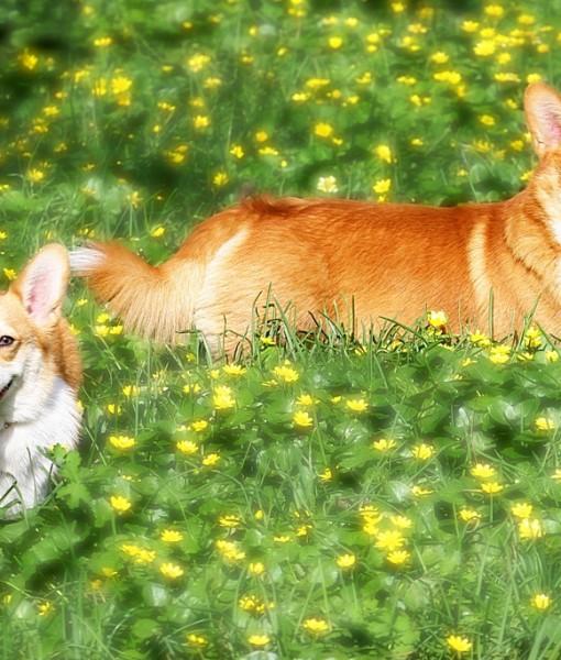 Фотообои Собаки в желтых цветах (ID 9109)