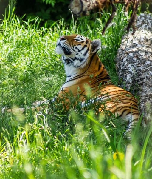 Фотообои Тигр в траве (ID 9216)