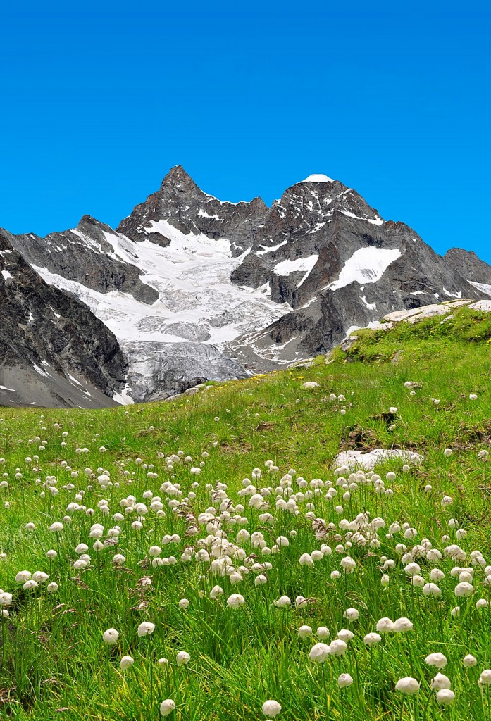 Beautiful mountain Gabelhorn in the foreground blooming cotton g