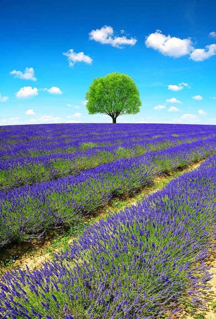 Lavender fields in Provence - France, Europe.