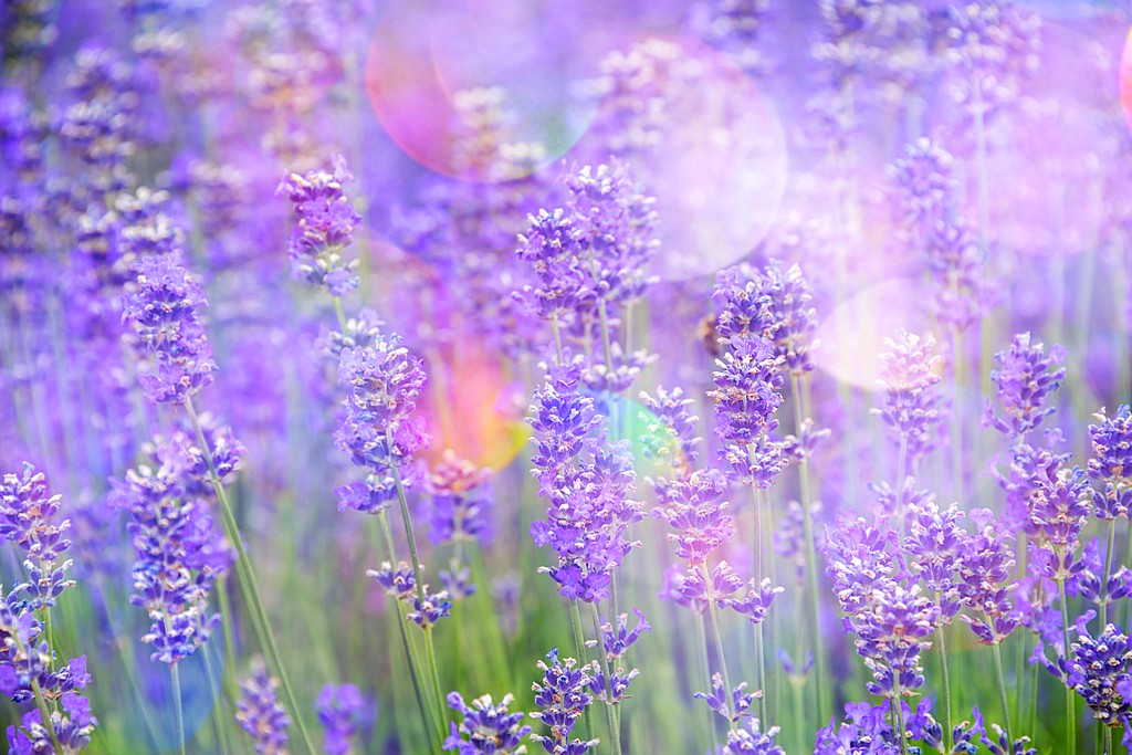 lavender on a field in detail