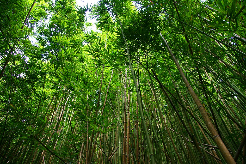 Green bamboo forest, bottom view image in Nature and Landscapes category at pixy.org